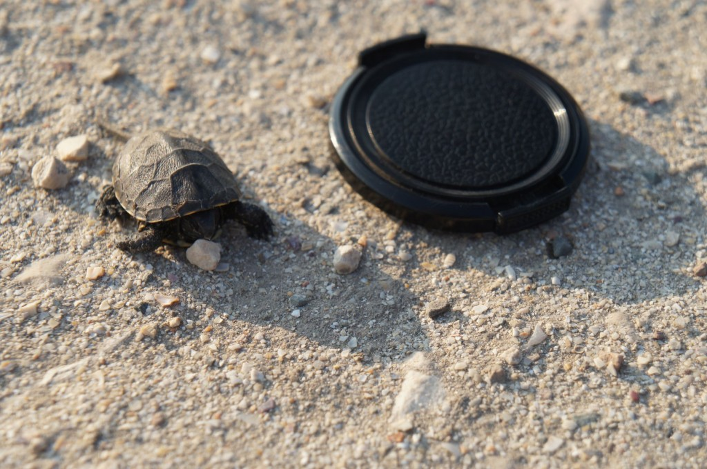 Hello tiny tortoise friend! (Lens cap for size reference.)