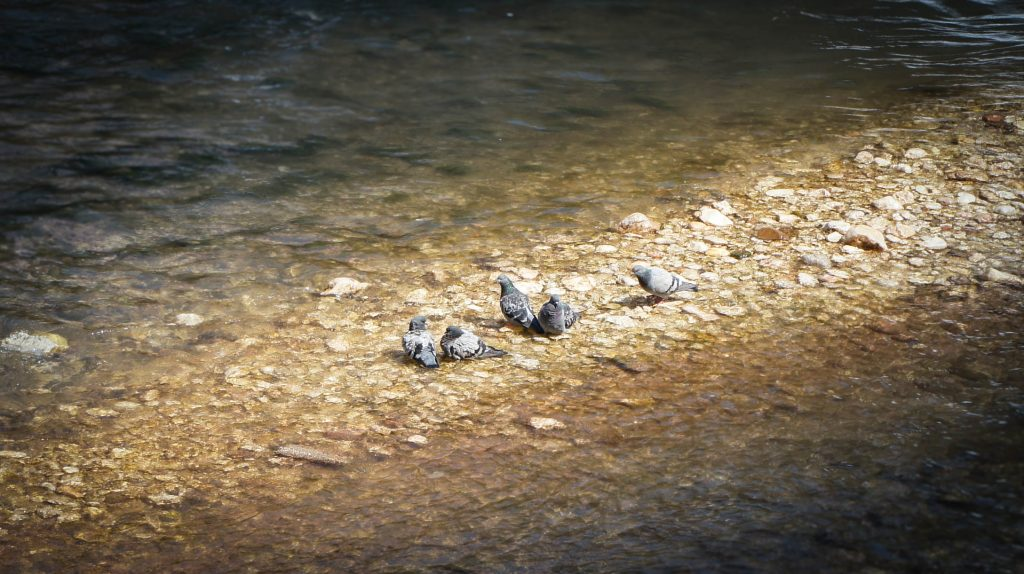 Some pigeons in the Miljacka river.